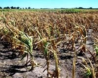 Drought_effected_corn