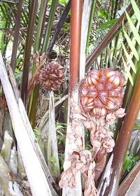 Mangrove_palm