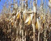 Corn_field_1