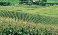 Corn_field_3