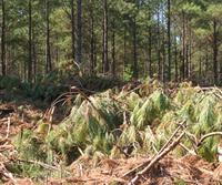 Pine_waste